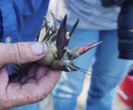 écrevisse de Californie attrapée au bord du grand étang